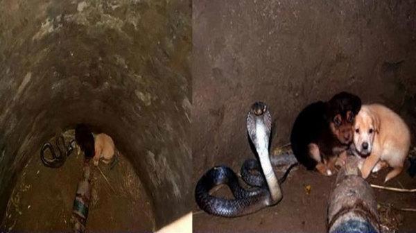 2 גורי כלבים נפלו לתוך באר יחד עם נחש קוברה –עכשיו תראו את התגובה הלא צפויה של הנחש