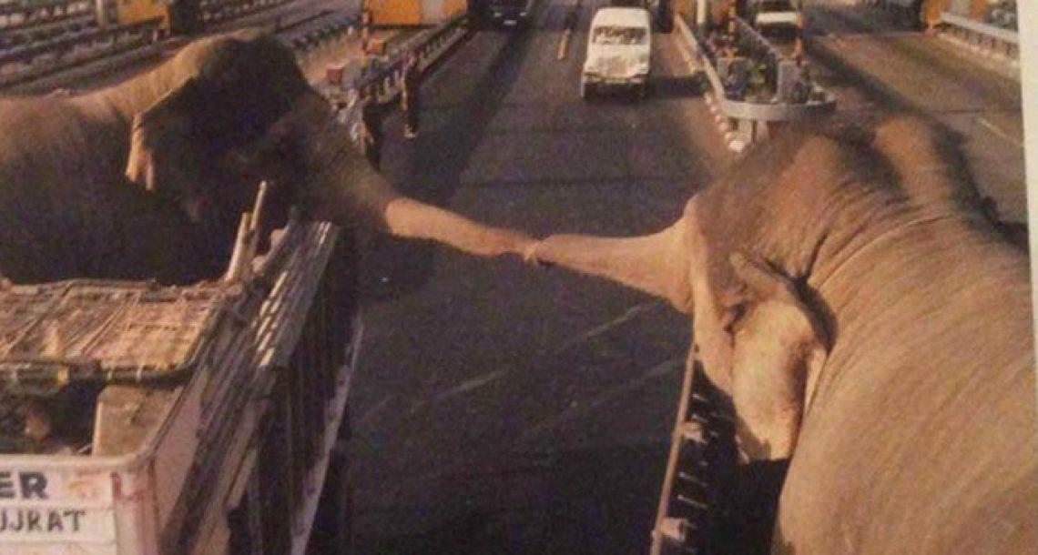 פילים שלא רצו להיפרד חלקו את הרגעים האחרונים שלהם יחד