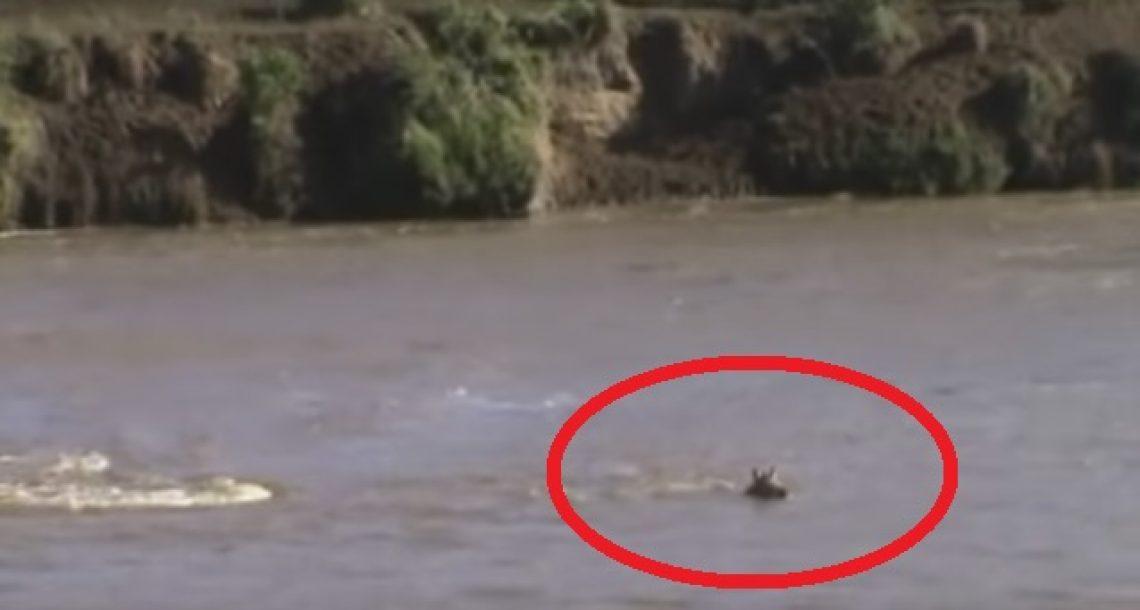 סייח זברה נסחף במורד נהר באפריקה. מה שקרה אחר כך הדהים את כל העולם!