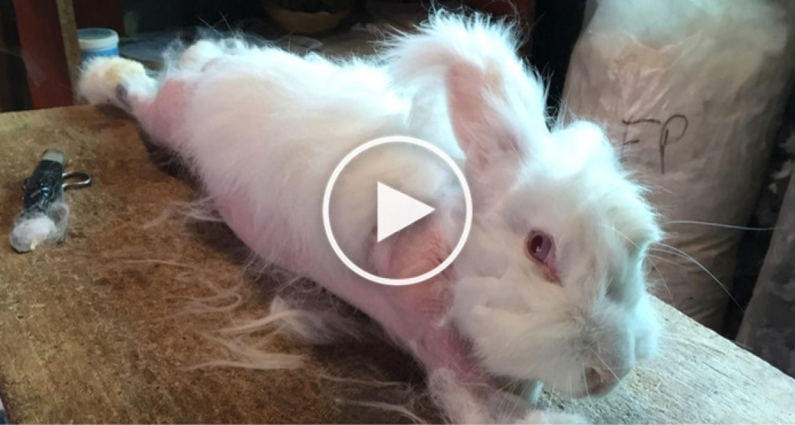 תחקיר חדש ומזעזע מראה ארנבי אנגורה צורחים ובוכים מכאב בזמן שתולשים להם את הפרווה
