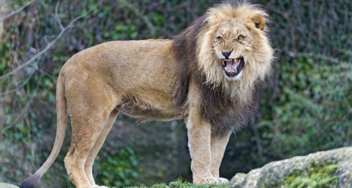 ילדה בת 12 נחטפה על ידי חבורת גברים – אז להקת אריות פעלה במהירות שיא