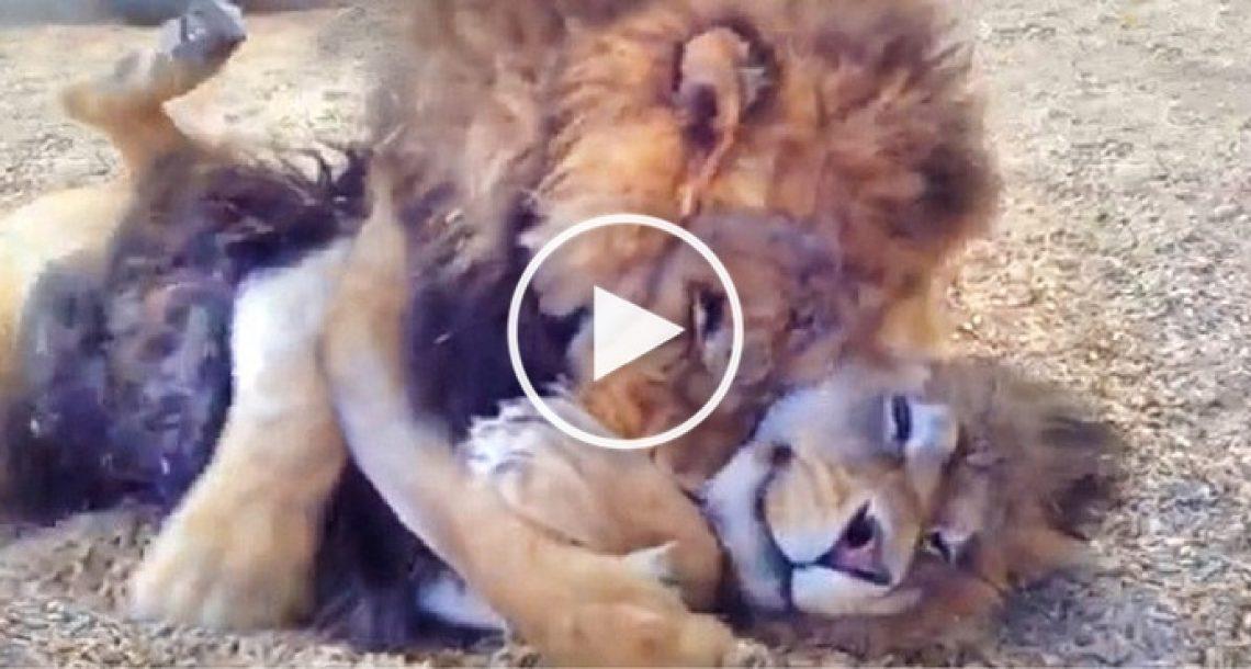שני אריות אחים חולצו אחרי שנים של התעללות בקרקסים. תראו את התגובה שלהם כשהם התאחדו שוב