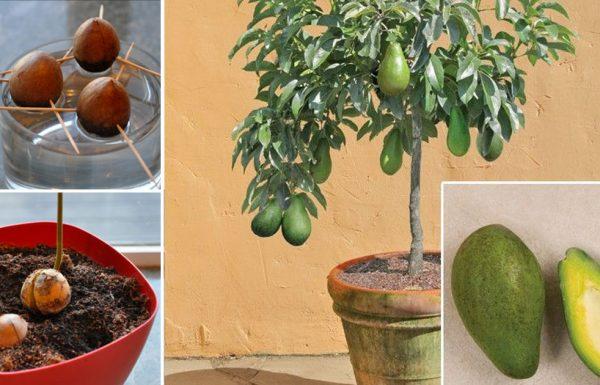 תפסיקו לקנות אבוקדו! כך תוכלו לגדל עץ אבוקדו בעציץ קטן בבית