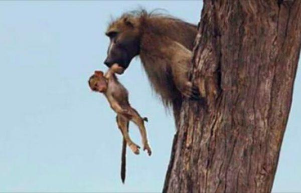 גור של קוף בבון נפל לחיקה של לביאה. אז המצלמה תיעדה את התגובה המדהימה שלה