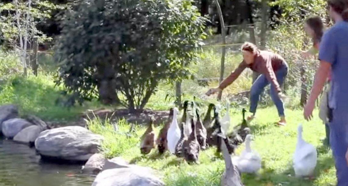 ברווזים שחולצו מעולם לא ראו מים בחייהם. עכשיו תראו את התגובה שלהם כשהם שוחים לראשונה