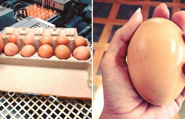 חוואי מצא ביצה ענקית מתחת לתרנגולת – כשראה מה יצא ממנה, הוא לא האמין למראה עיניו