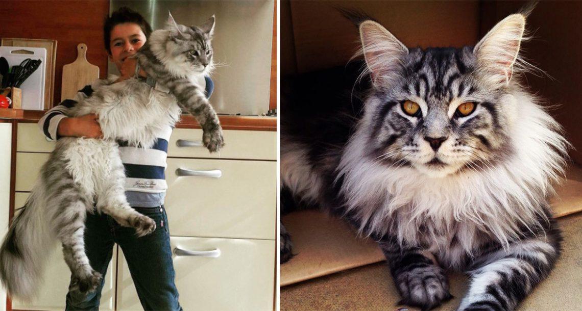 """החתול הזה שוקל 16 ק""""ג ואורכו 1.23 מטר! הנה התמונות שכל אוהבי החתולים מדברים עליהן"""