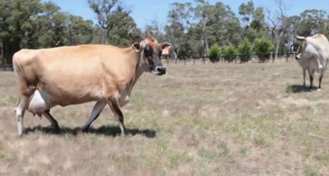 הבעלים היו בשוק כשלא הצליחו למצוא את העגלה של הפרה – ואז הם גילו את הסיבה העצובה