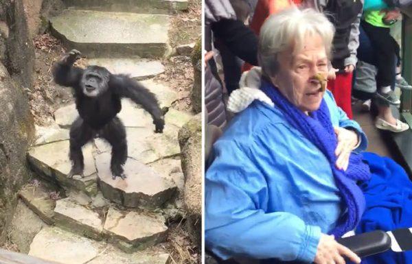 שימפנזה החל להשליך את הקקי שלו….סבתא קיבלה אותו ישר לפרצוף!