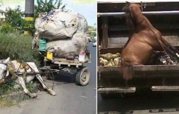 סוס מסכן שהכריחו אותו לעבוד קשה מדי נזרק לפח כאשר התמוטט