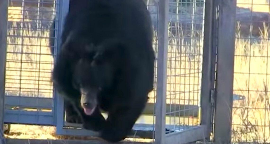 במשך 10 שנים הדובה הייתה כלואה בכלוב קטן. תראו אותה עכשיו לוקחת את צעדי החופש הראשונים שלה