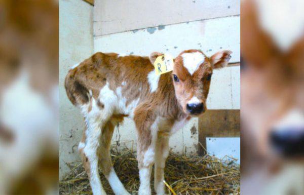 אנשים במכירה פומבית קראו לעגל חולה 'אשפה', אבל אז אוהבת חיות נכנסה לתמונה ושינתה הכל!