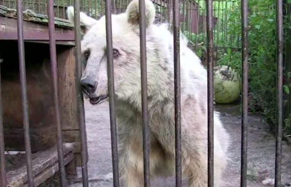 הדובה הזו הוחזקה בשבי במשך 30 שנה, צפו בתגובה המדהימה שלה כשסוף סוף משחררים אותה