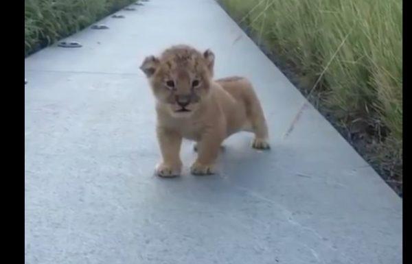 גור אריה יצא מהדשא ראה את המצלמה וניסה להפחיד אותה עם שאגה קורעת מצחוק