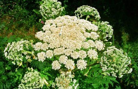 מומחים מזהירים: הצמח הזה עלול לגרום לעיוורון וכוויות בדרגה 3 והוא מתפשט בקצב מטורף