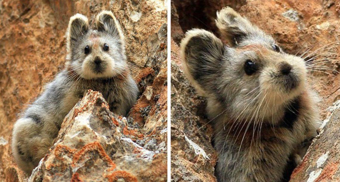 בעל חיים נדיר המכונה 'ארנב הקסמים' נצפה לראשונה מזה 20 שנה