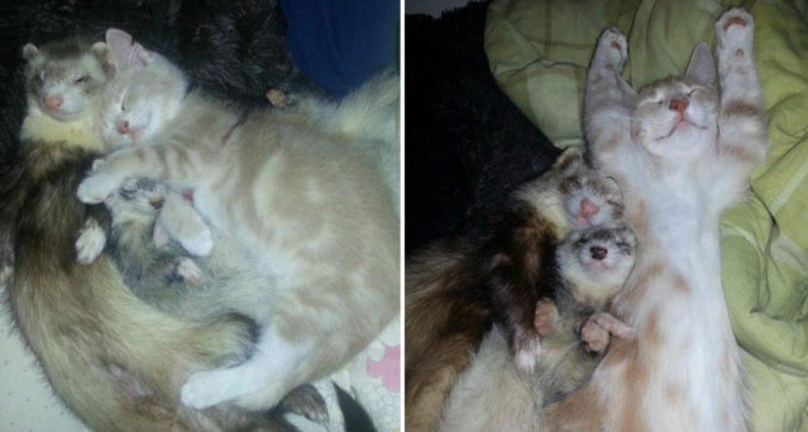 שני חמוסים אימצו גור חתולים והם הפכו במהירות למשפחה הכי חמודה בעולם