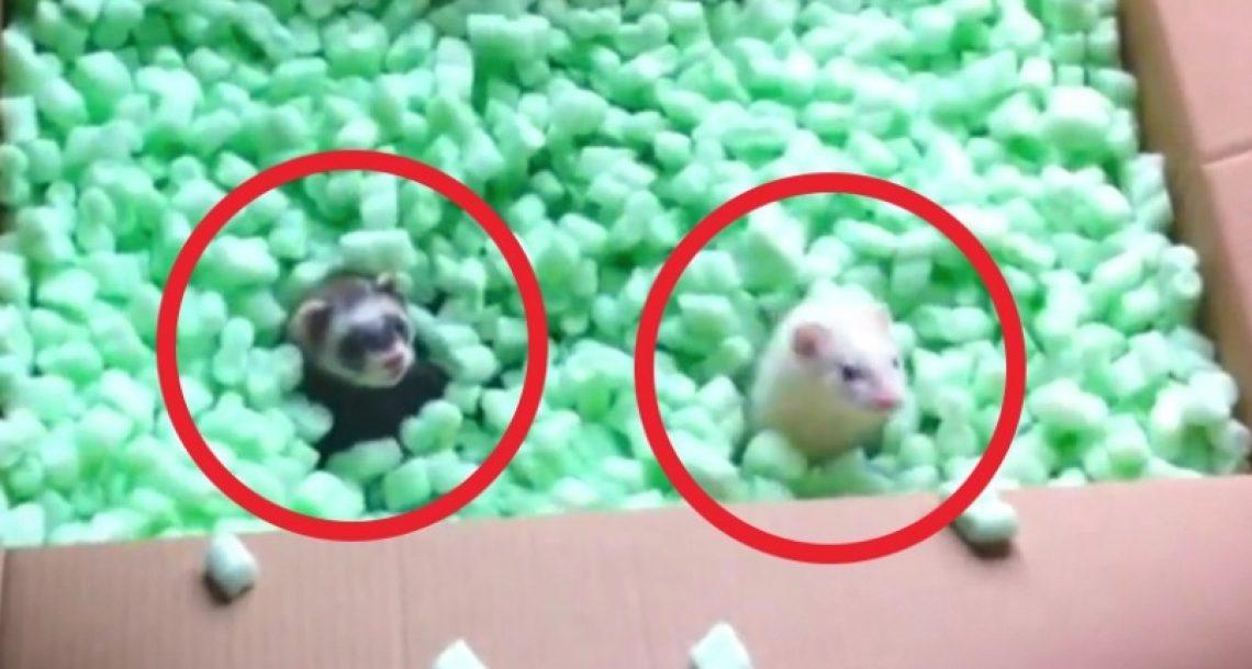 שני חמוסים בדיוק גילו קופסא מלאה בחתיכות קלקר. עכשיו תראו איך הם הגיבו…