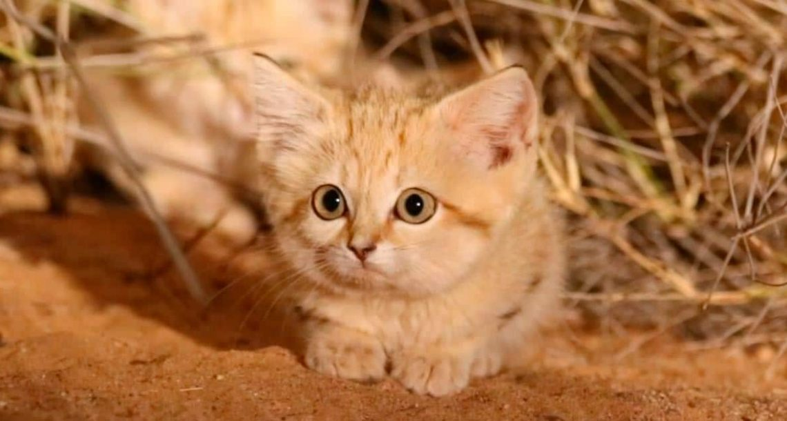 חתול חולות נדיר תועד במצלמה בפעם הראשונה, תראו כאשר הוא מסתובב וחושף את האחים שלו