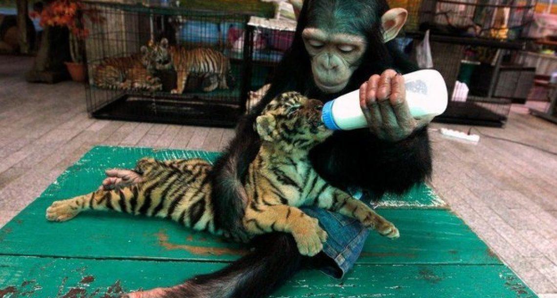 אם חיות יכולות אולי גם אנחנו. 17 תמונות של חיות מטפלות בחיות אחרות
