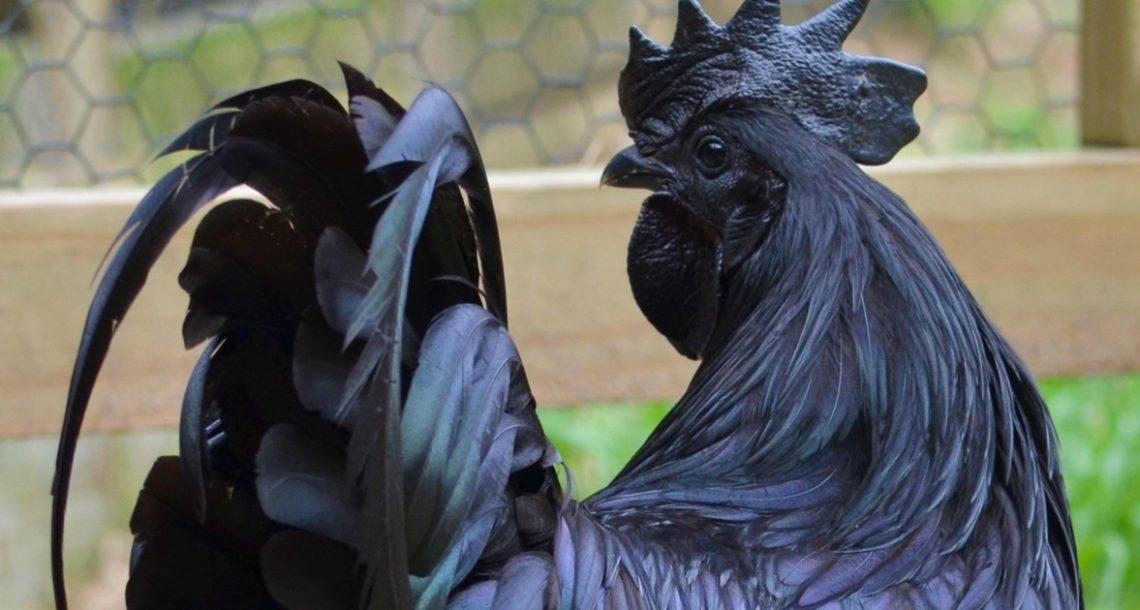 התרנגולת 'הגותית' הנדירה הזו היא 100% שחורה מהנוצות ועד העצמות והאיברים הפנימיים שלה