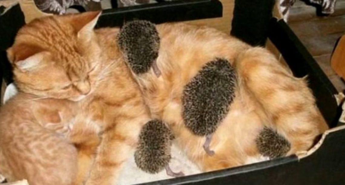 חתולה ג'ינג'ית שהניקה את הגורים שלה הבחינה בגורי קיפודים. אז היא החלה להניק אותם גם!
