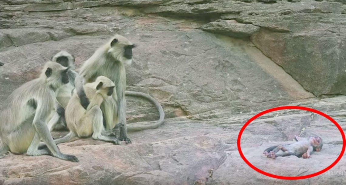 הם הכניסו קוף רובוטי יחד עם המון קופי לנגור – כשתראו את התגובה שלהם, לא תוכלו לעצור את הדמעות