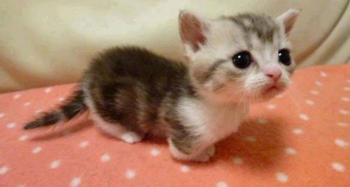 הוא אולי נראה כמו גור, אבל הוא חתול בוגר לחלוטין. הגזע הזה עושה עכשיו קאמבק