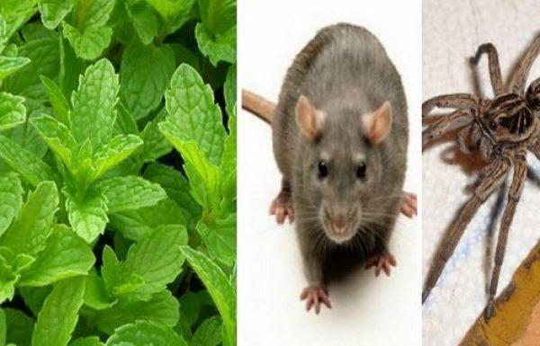 אם יהיה לכם את הצמח הזה בבית, לעולם לא תראו שוב עכבישים, חרקים ועכברים!