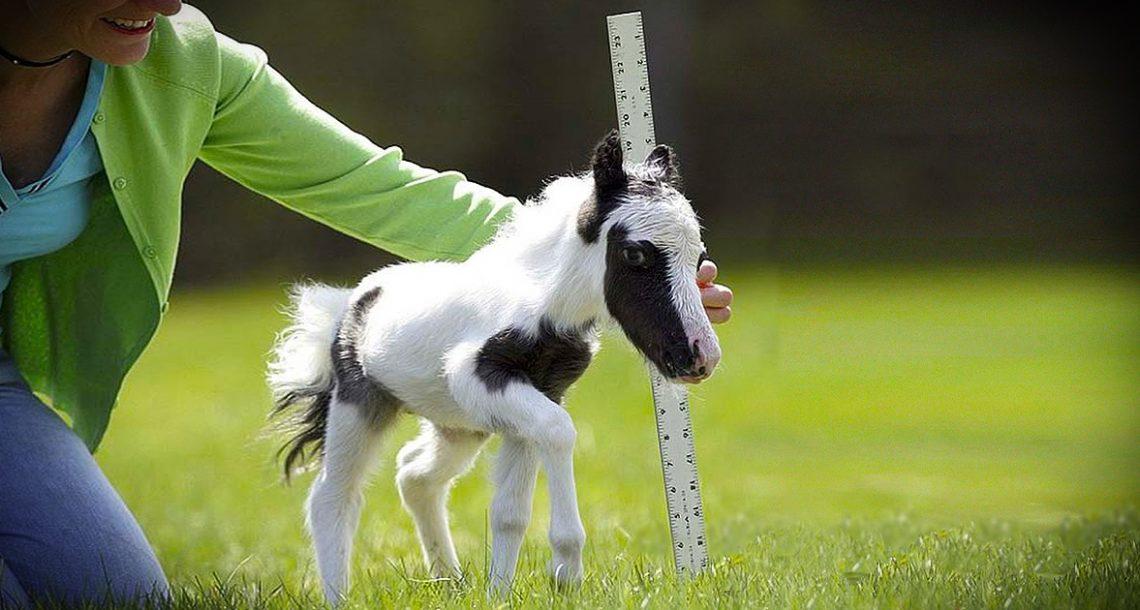 זה הסוס הקטן ביותר בעולם, ואי אפשר שלא להתאהב בו