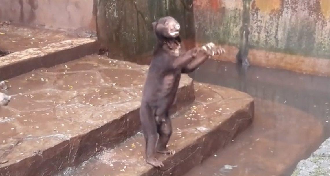 הסרטונים האלה של דובים מורעבים בגן חיות מתחננים לאוכל מזעזעים את כל העולם