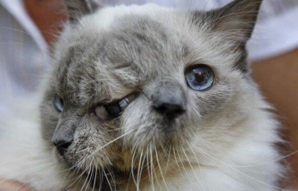חתול עם שני פרצופים בשם פרנק ולואי קבע שיא גינס, ואז נפטר…