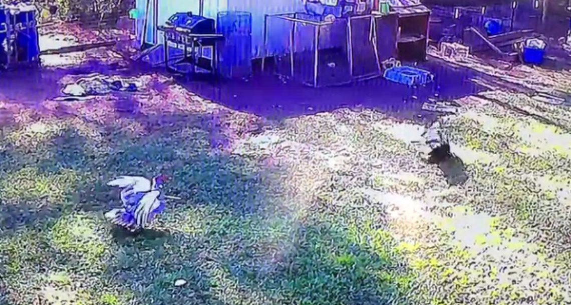 נץ תקף תרנגולת וניסה להפוך אותה לארוחת הערב. עכשיו תראו מה עושה הברווז…