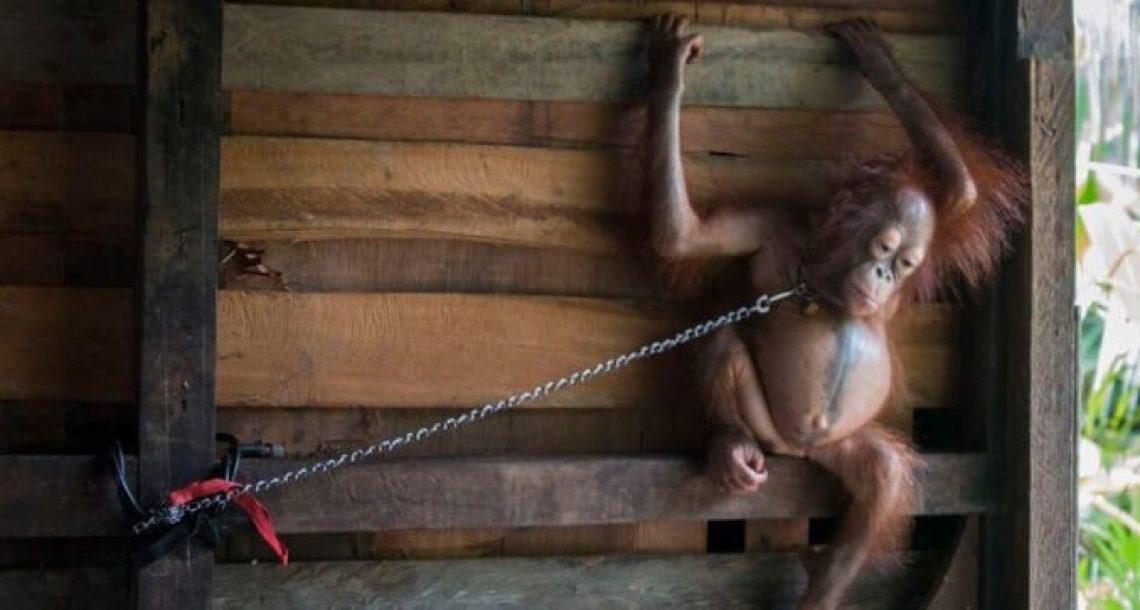 גורת אורנגאוטן בילתה 6 חודשים קשורה למדף במטבח של אנשים אכזריים ביותר
