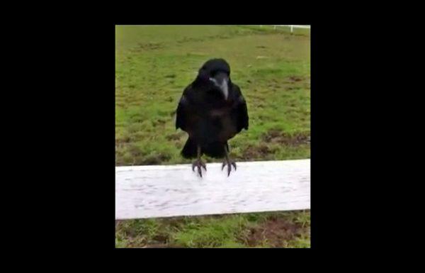 עורב התיישב על הגדר וצווח לעברם במשך שעה. לבסוף, הם הבינו שהוא מבקש עזרה