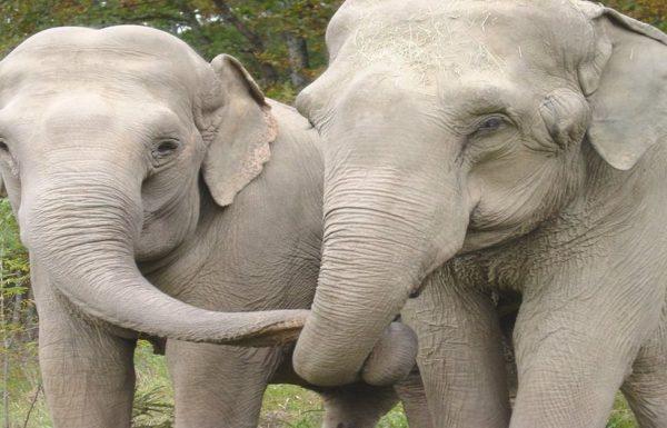 שתי פילות קרקס הופרדו במשך 22 שנים. צפו ברגע המרגש עד דמעות בו הן נפגשות שוב