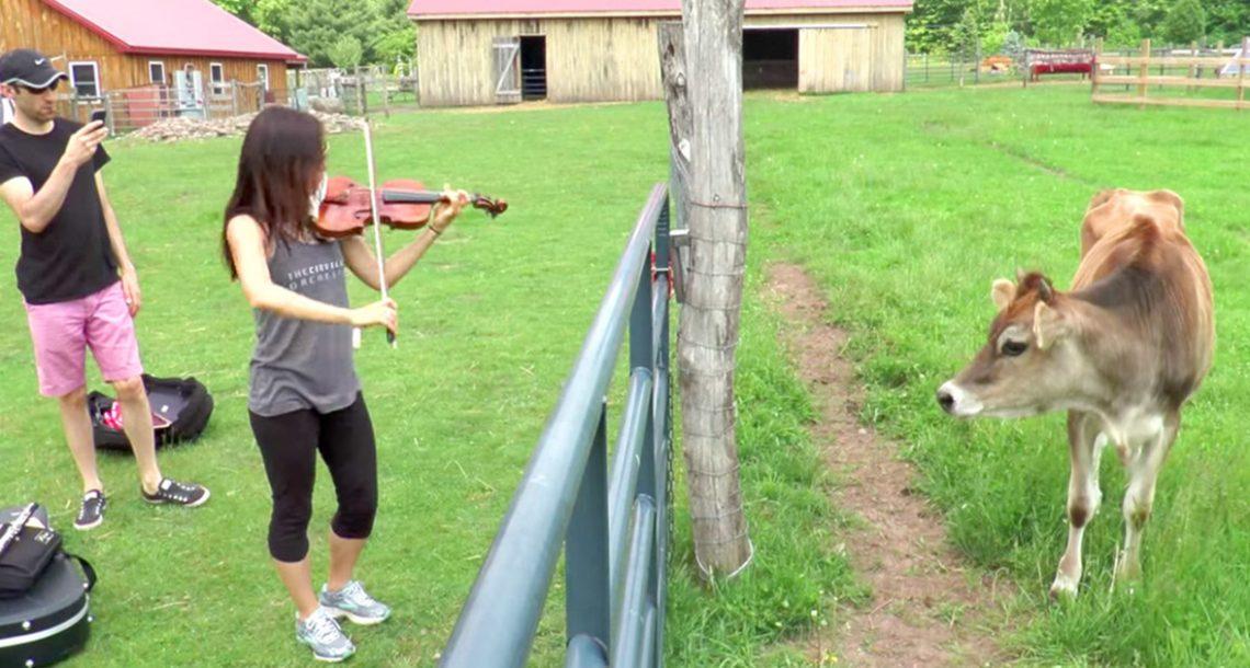פרה שחולצה מעולם לא שמעה מוזיקה, עכשיו תראו מה היא עושה כשהיא שומעת את הכינור לראשונה בחייה