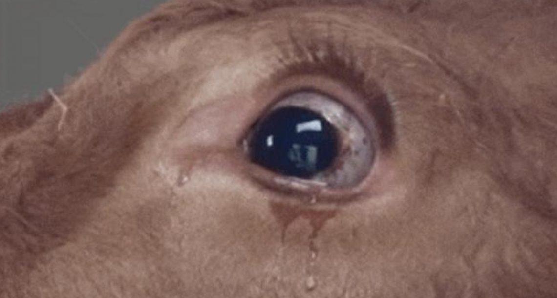 הפרה הזאת כל כך פחדה שהדמעות לא הפסיקו לזלוג. אם רק הייתה יודעת לאן היא נוסעת…