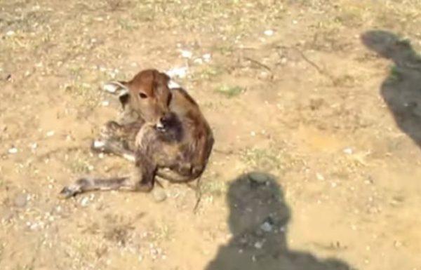 רפתן אכזרי זרק בצידי הכביש עגל שנולד זה עתה על מנת שלא יוכל לשתות את החלב של אמא שלו