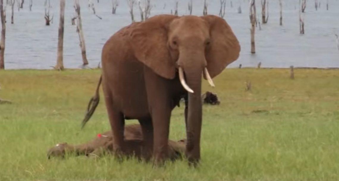 גורת פילים פצועה ניצלה על ידי וטרינרים. הדרך בה משפחתה שמרה עליה היא פשוט מטורפת