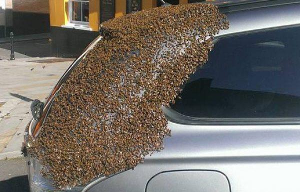 נחיל דבורים עקב אחרי מכונית במשך יומיים כדי להציל את המלכה שהייתה לכודה בפנים