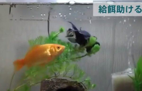 דג הזהב שלו הפסיק לשחות, אבל עדיין נשאר בחיים. ואז הוא ראה מה הדג השני עושה…