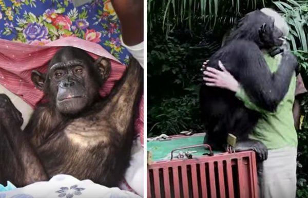 השימפנזה הזו שוחררה בחזרה לטבע – אבל תראו מה היא עושה רגע לפני נעלמת אל תוך היער