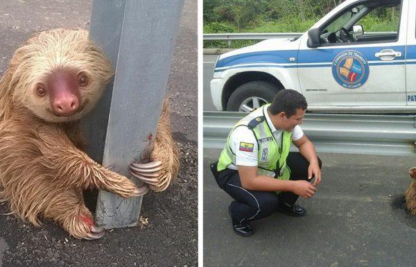 שוטרים קיבלו קריאה לגבי חיה במצוקה, מצאו עצלן מבועת על הכביש המהיר