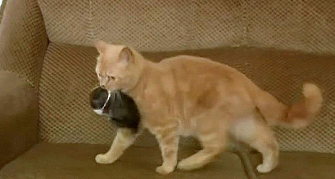 חתולה מצאה גור ארנבים יתום, אימצה אותו וגידלה אותו כאחד משלה