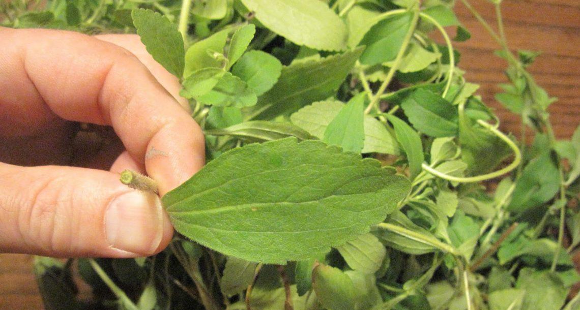 רוצים להפסיק לעשן? הצמח הזה משמיד באופן מיידי את הצורך שלכם בניקוטין