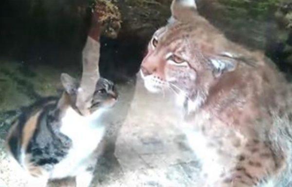 חתולה נפלה אל תוך כלוב של שונר בגן חיות, ומה שקרה אחר כך הפתיע את כל העולם