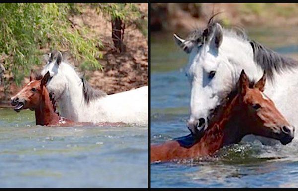סוסה צעירה נסחפה במורד הנהר והחלה לטבוע. מה שקרה אחר כך הדהים את כולם!