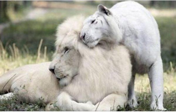 לאריה לבן וטיגריסית לבנה נולדו גורים, ומעולם לא ראיתם דבר כזה
