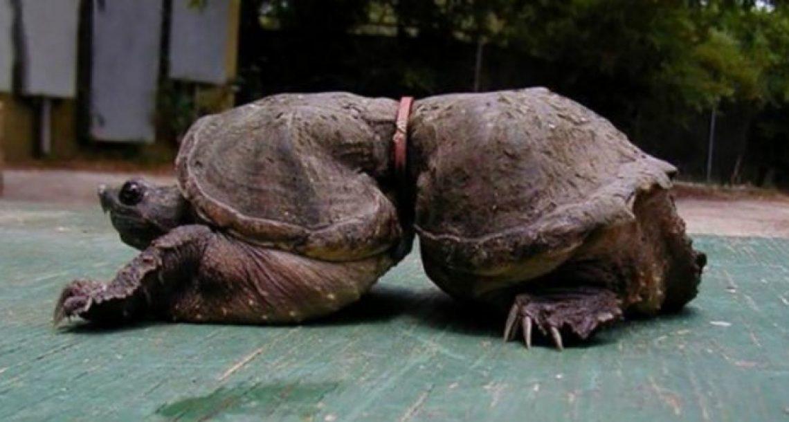 צב מסכן נלכד בתוך גומייה כשהיה תינוק – אנשים חייבים לראות את התמונות האלה